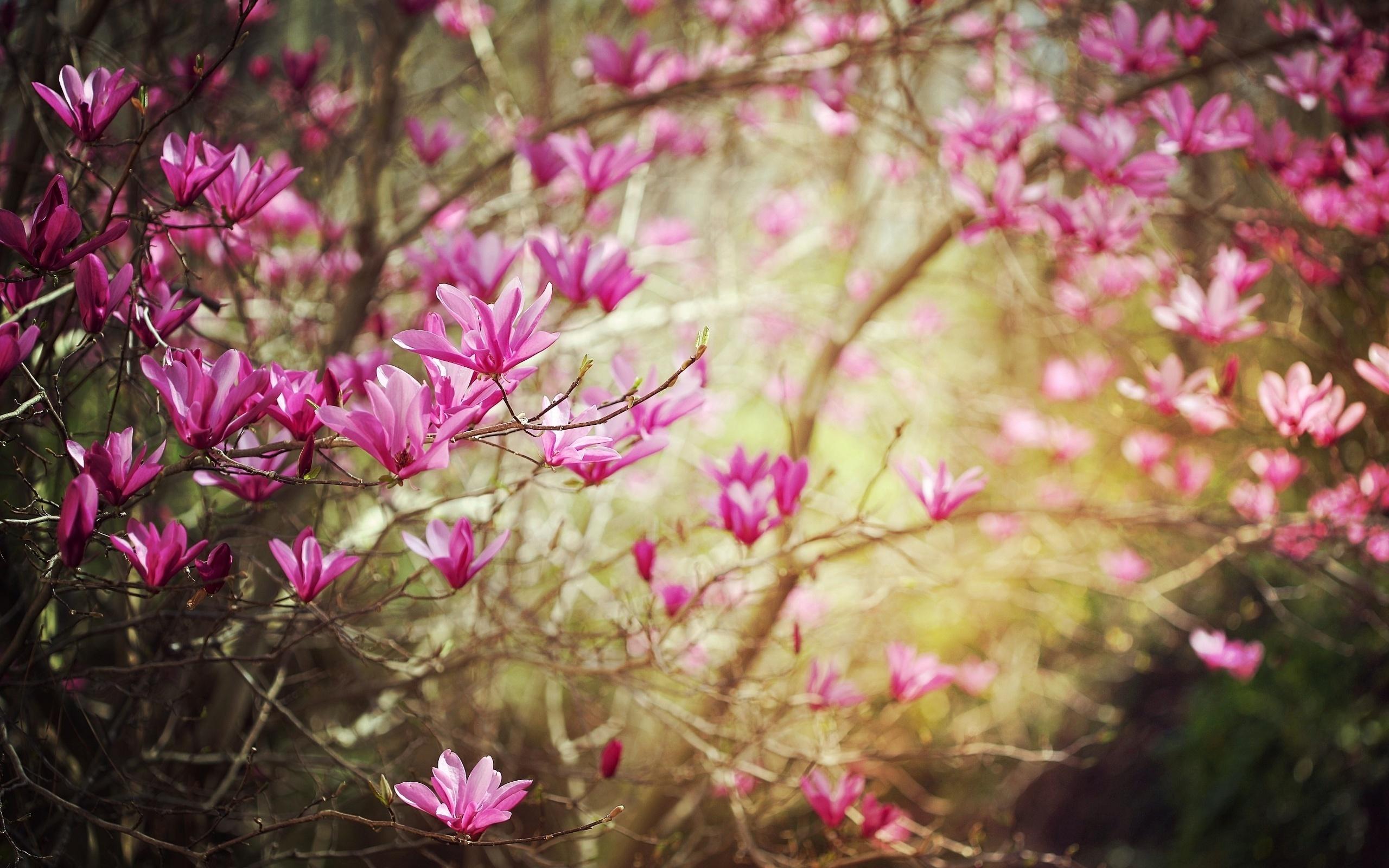 Dark Pink Spring Flower Wallpapers   2560x1600   1077239 2560x1600