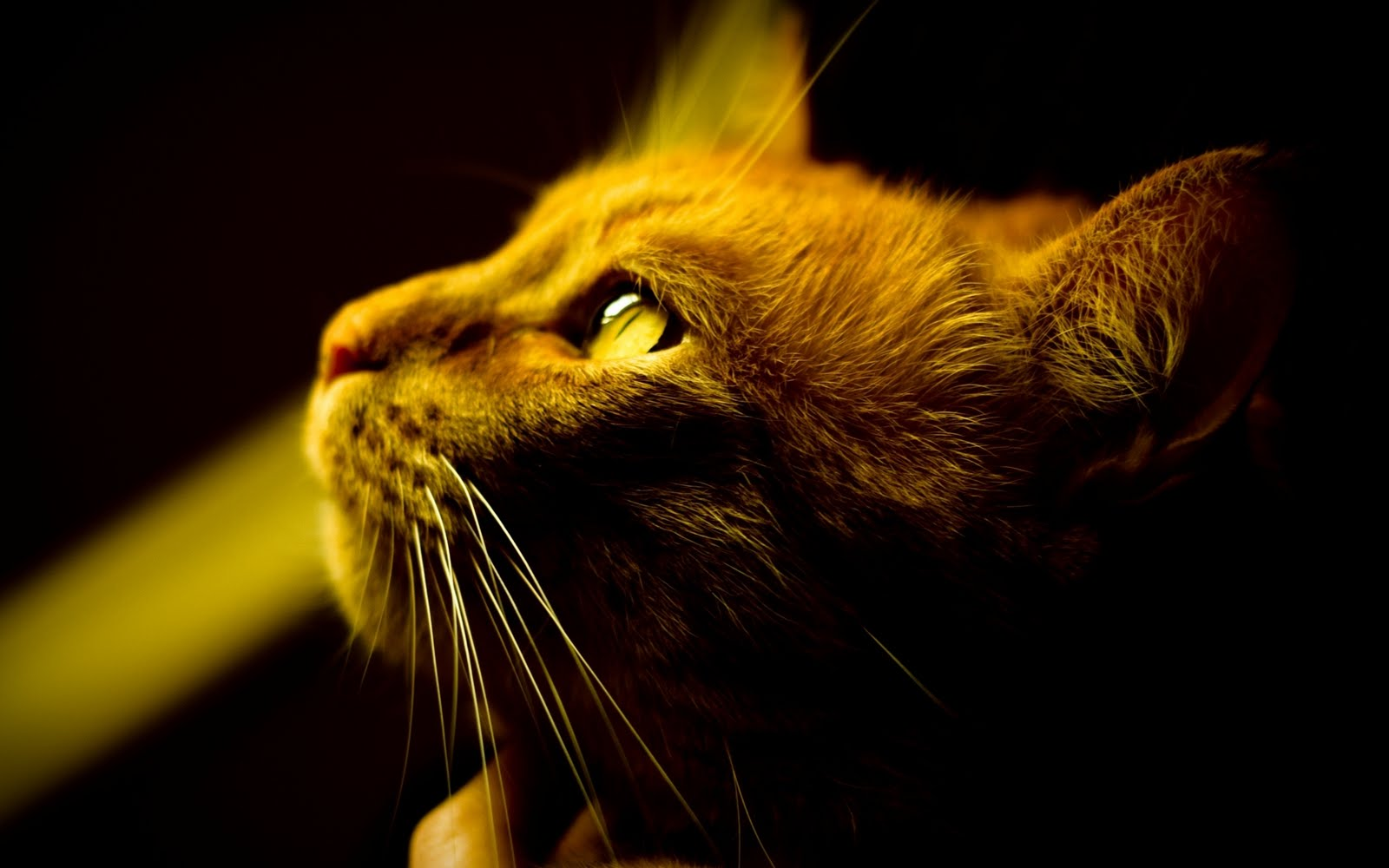 cat in the light cool eye 1080p hd wallpaper is a great wallpaper for 1600x1000