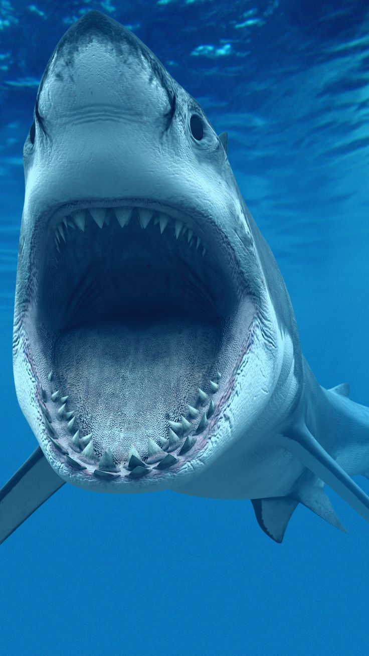 Great White Shark iPhone Wallpapers iphone wallpapers   and all 736x1308