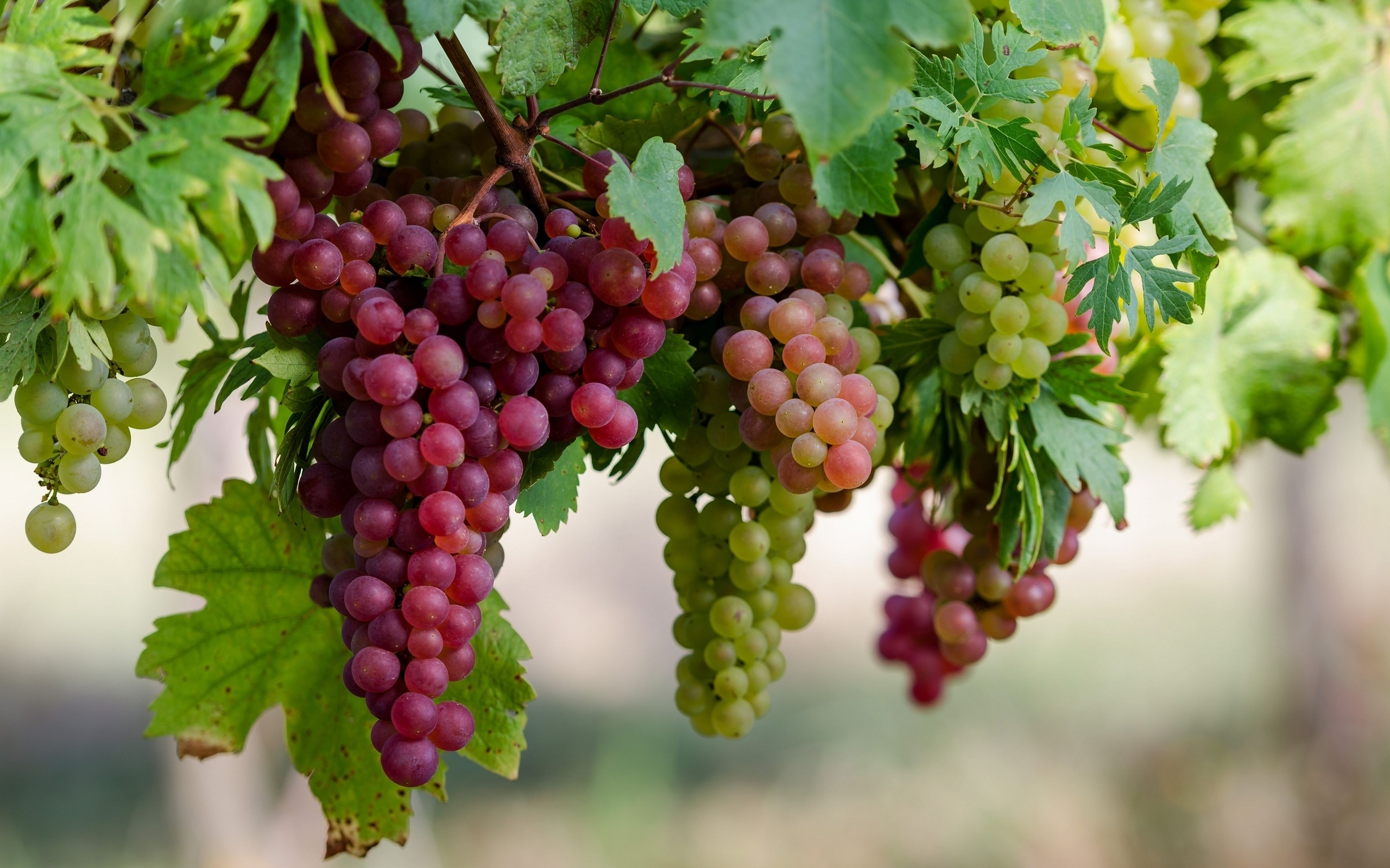 Grapes wallpaper 2560x1600