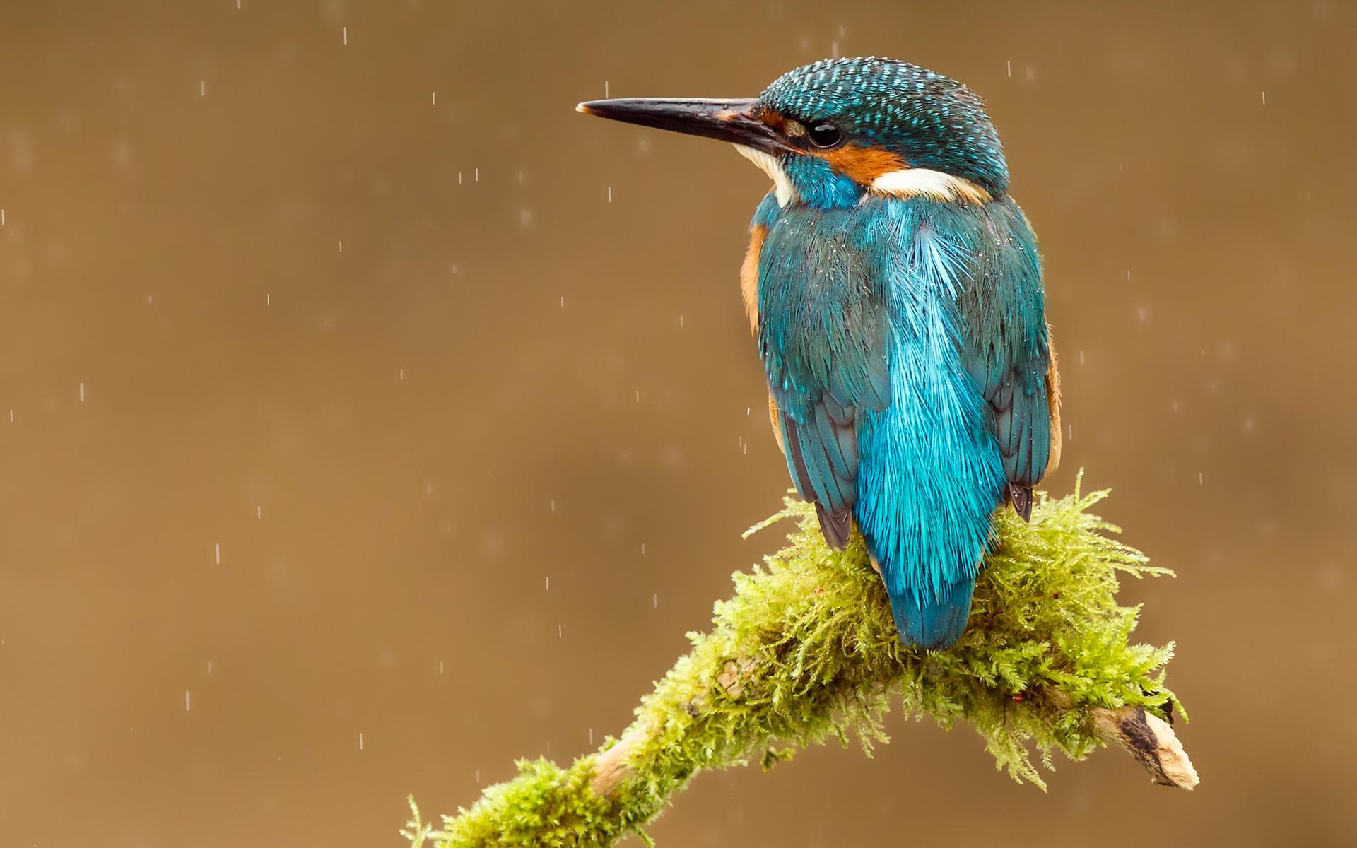 Blue Kingfisher Bird HD Wallpapers 1920x1200