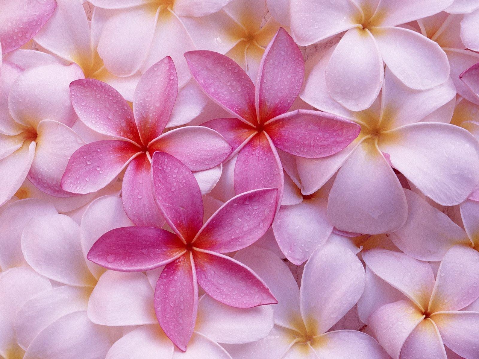 Hawaiian Flowers Background   HD Wallpaperia 1600x1200