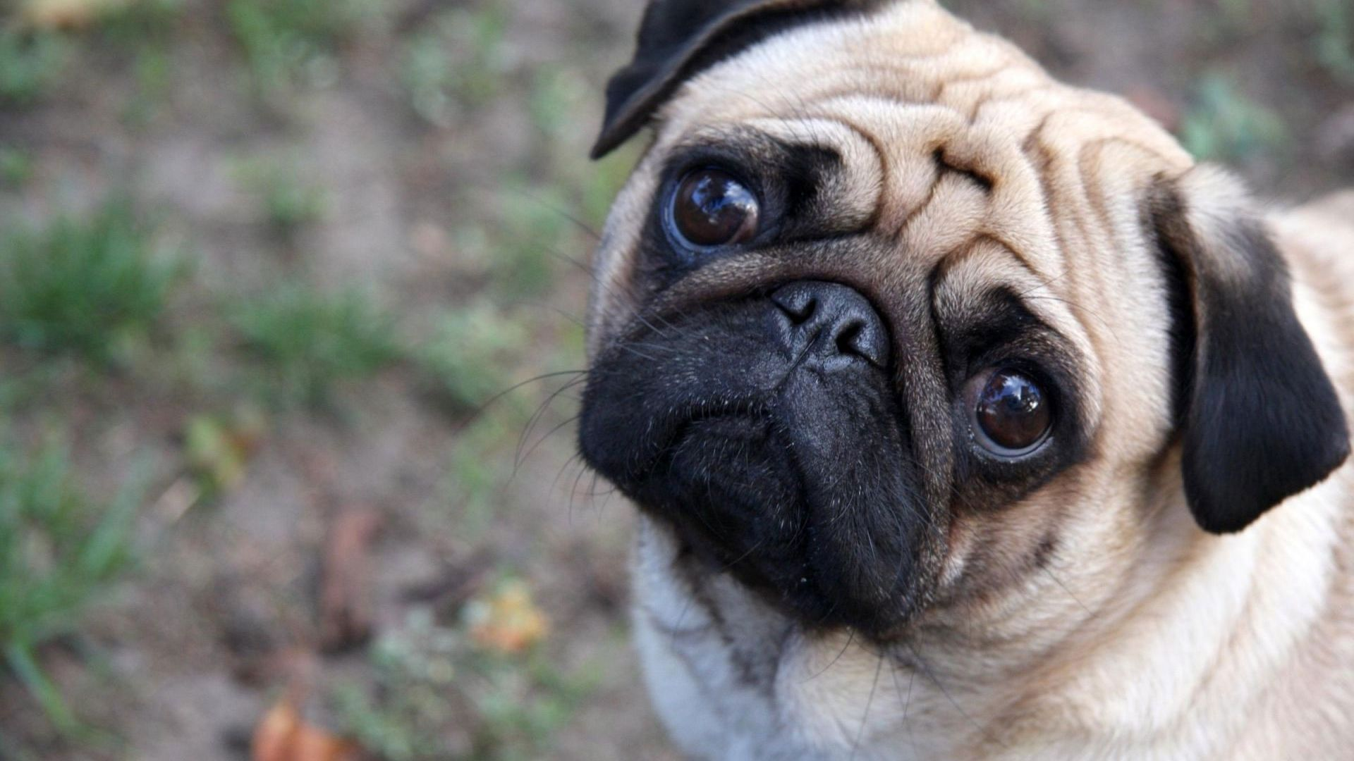 hd pics photos best beautiful pug dog attractive face close up hd 1920x1080