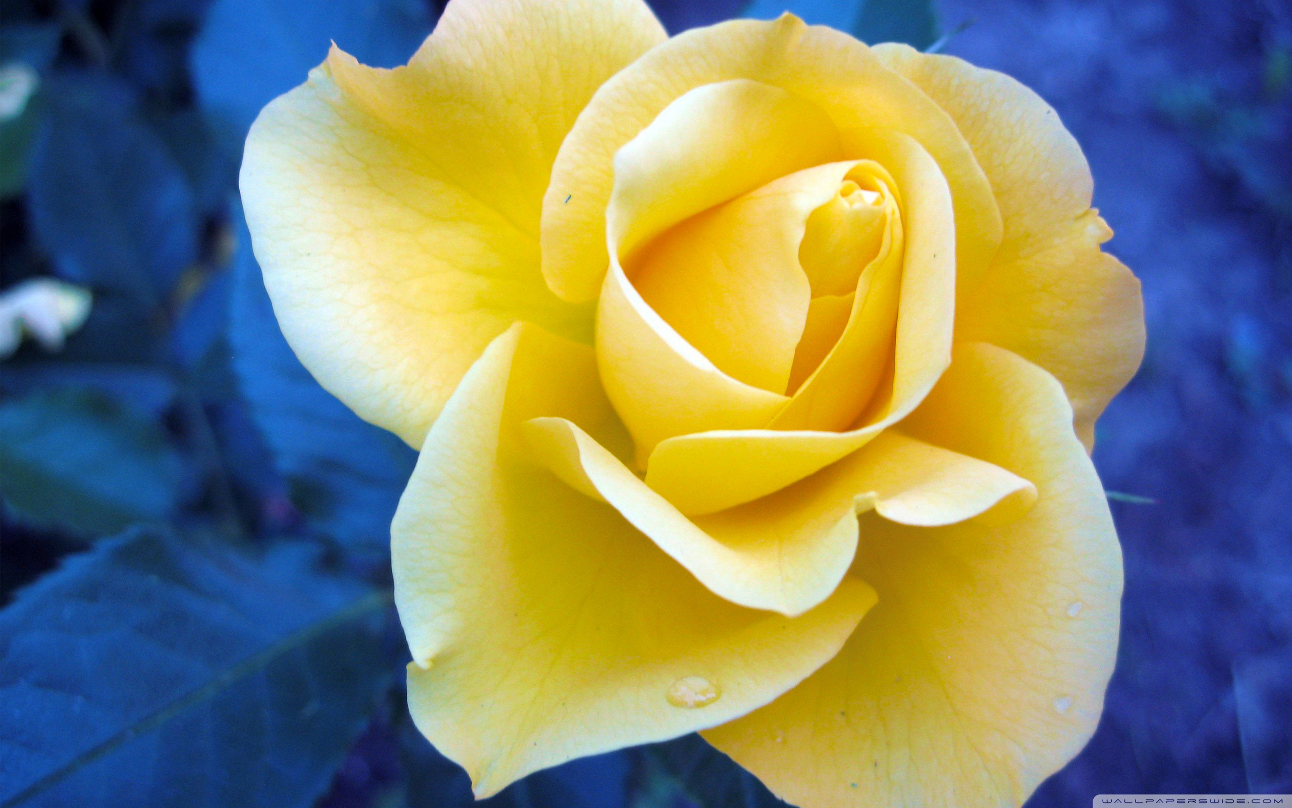 Free Yellow Rose Wallpaper - WallpaperSafari