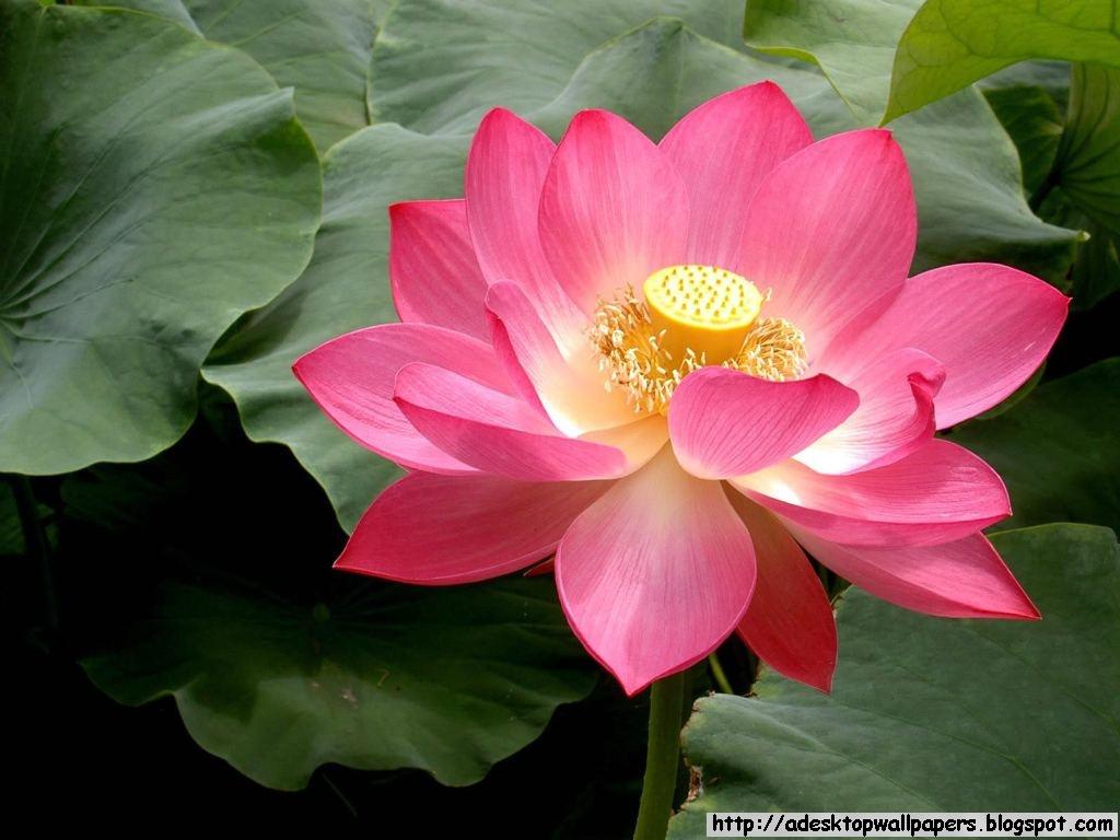 Lotus Flower Wallpaper For Computer Wallpapersafari