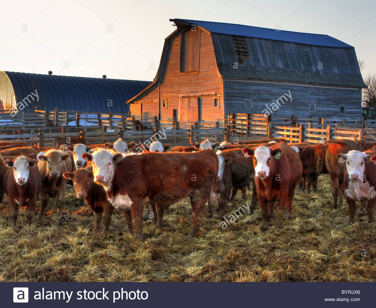 Livestock   Crossbred beef cattle in a ranch corral at sunrise 1300x1065