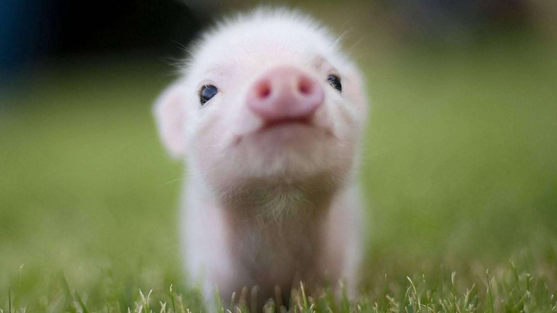 cute pig   Animal Lovers Wallpaper 1920x1080