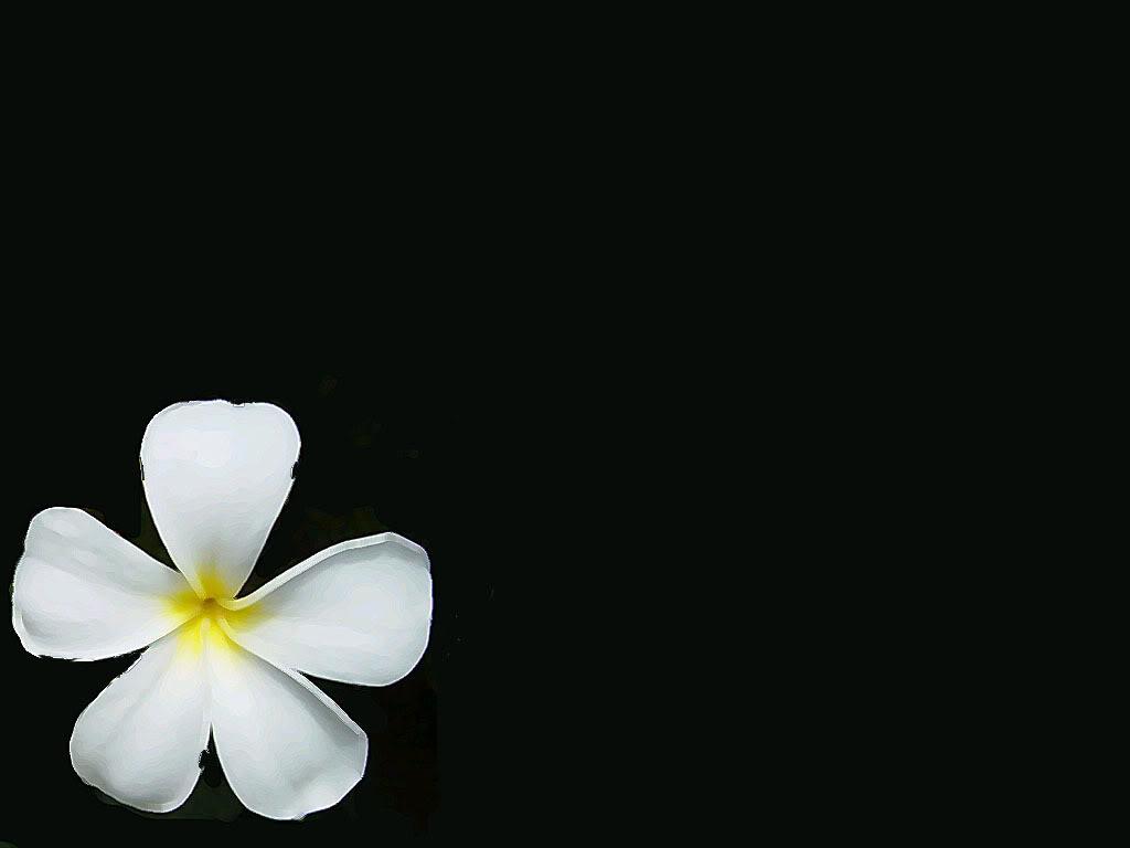 Frangipani flower stock illustration. Illustration of flower - 71066455