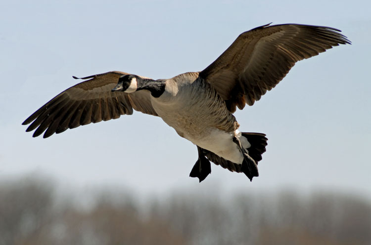 with canadian goose cool images wallpaper with nice canadian geese 750x496