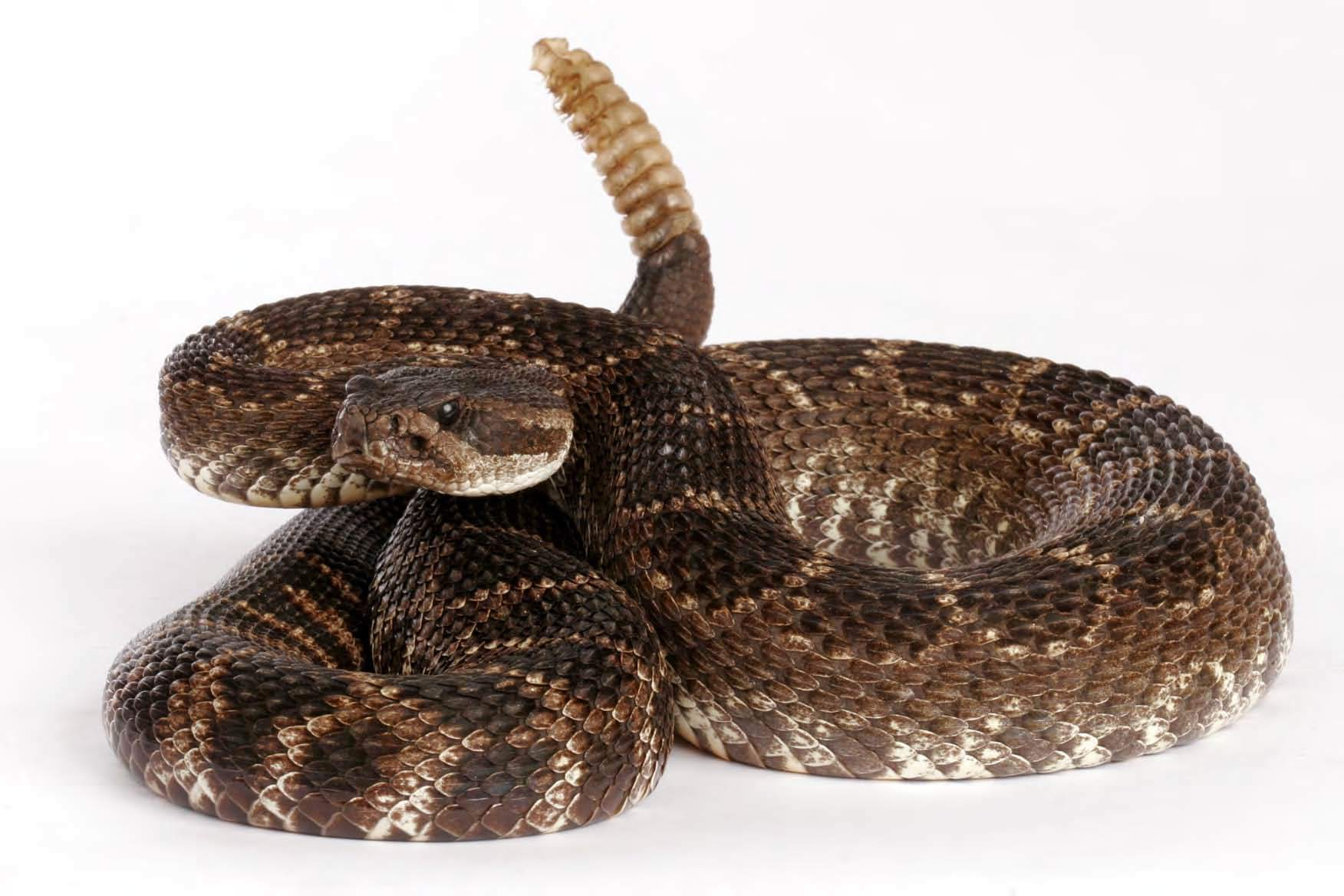 Rattlesnake Hd Wallpapers   Snake Rattle Wallpaper 1752x1168