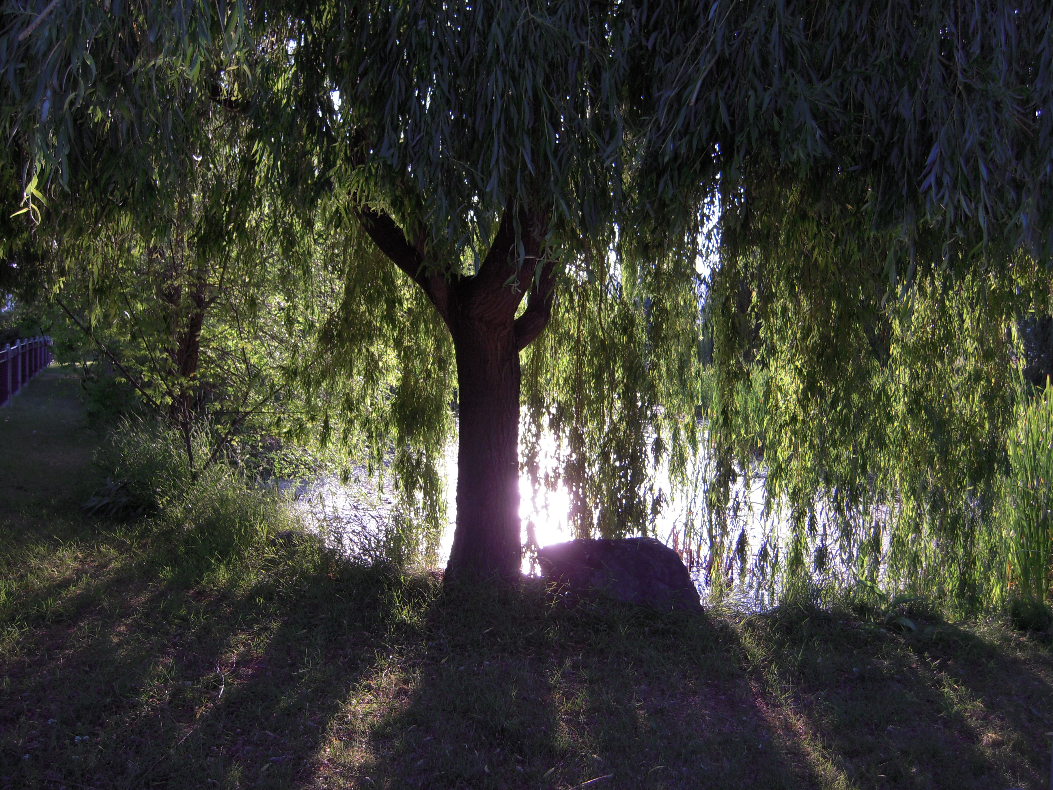 weeping willow tree wallpaper 3648x2736
