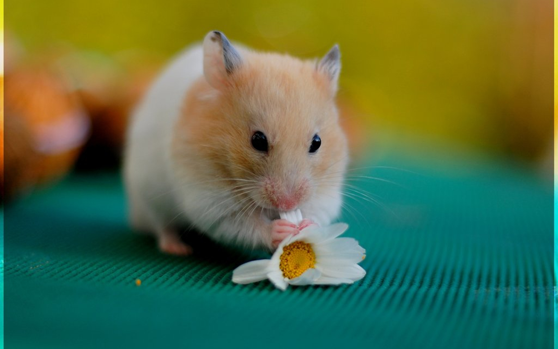 hamster Roborovski hamsters are a species of dwarf hamster also known as robos these are the smallest of the dwarf hamster species, staying at or less than a third of the size of a syrian hamster, and are much more active.