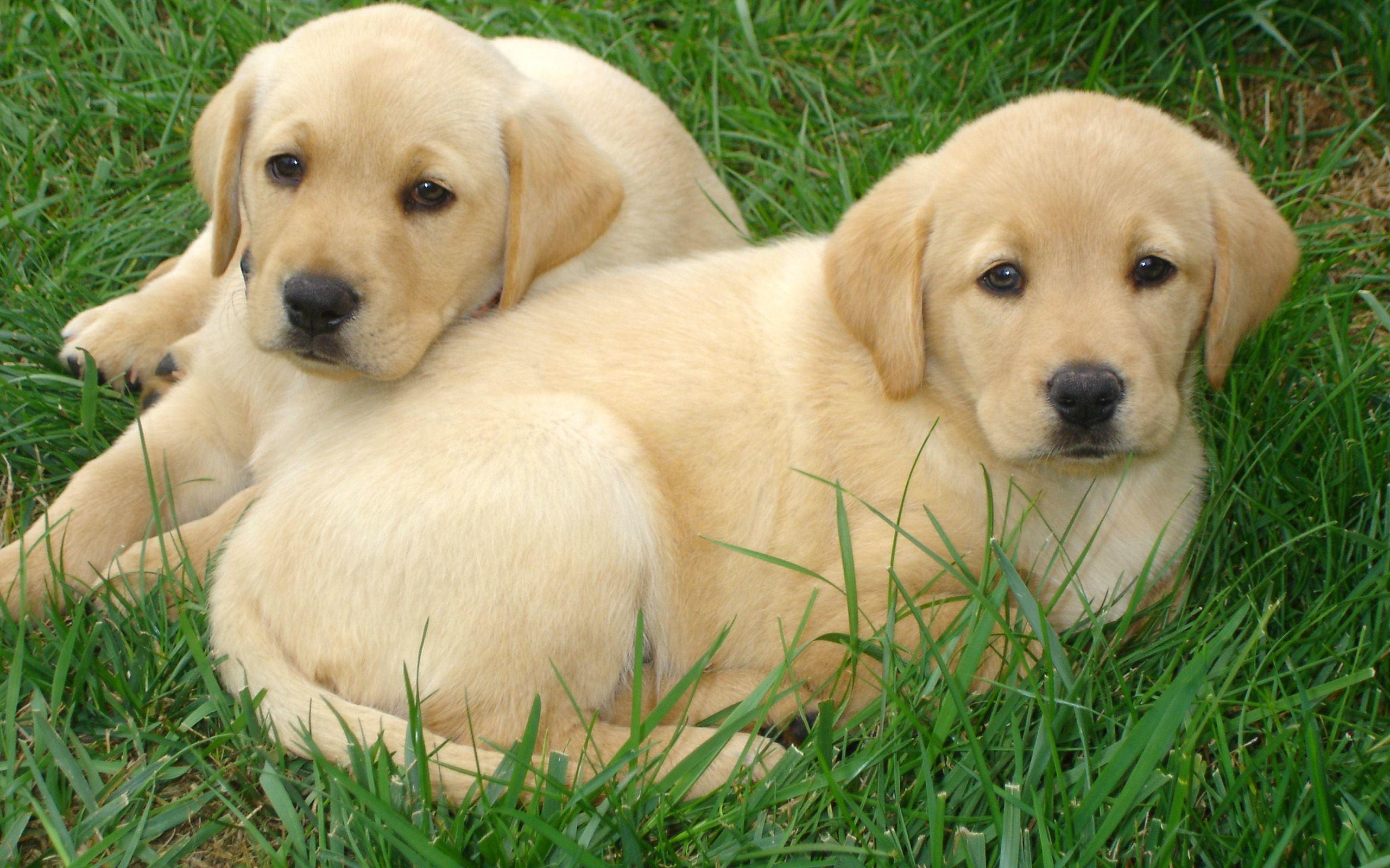 Labrador Retriever puppies Widescreen Wallpaper   12252 2560x1600