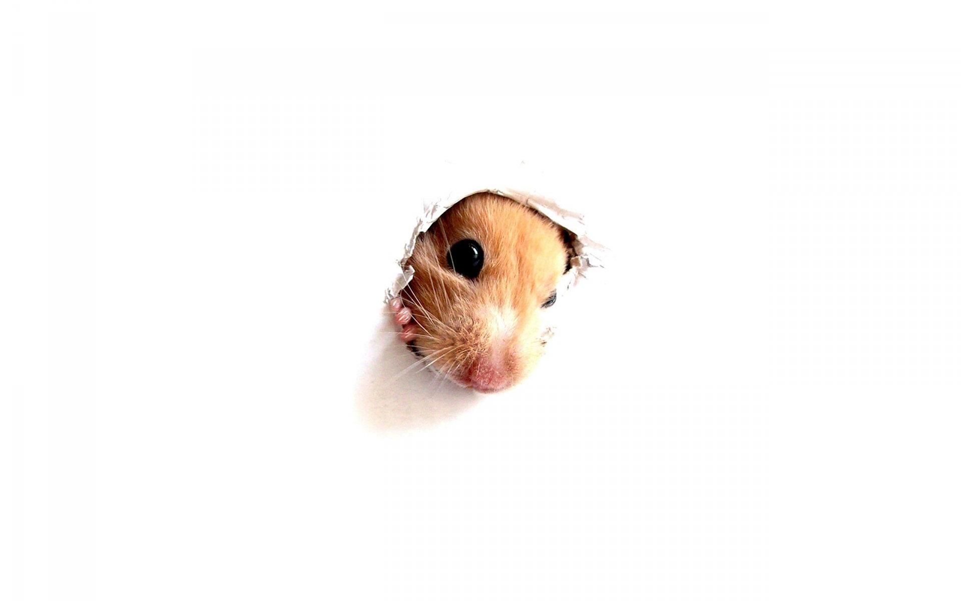 Animal   Hamster Wallpaper 1920x1200
