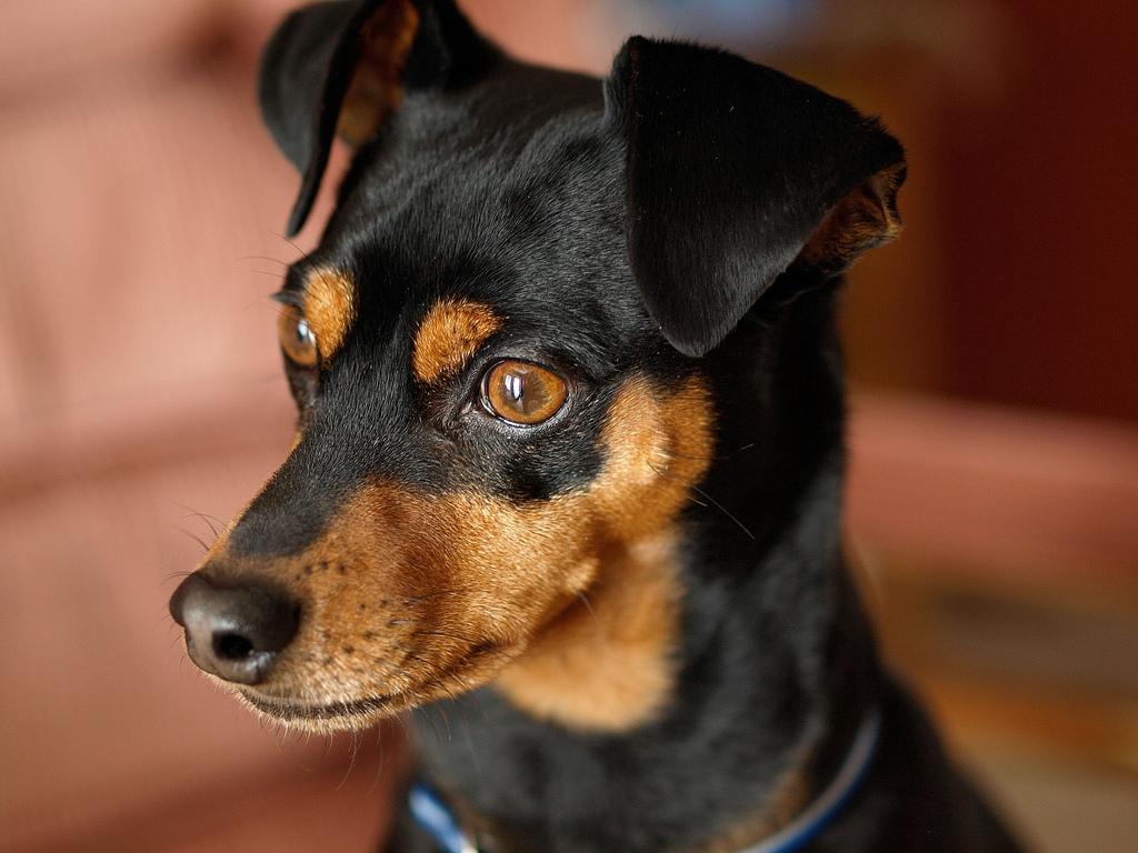 Miniature Pinscher dog face photo and wallpaper Beautiful Miniature 1024x768