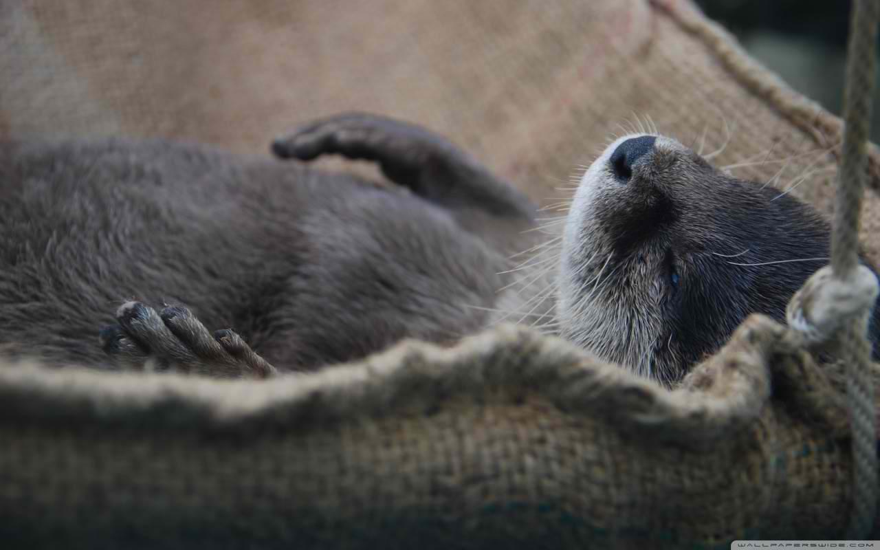 Sea otter   my desktop wallpaper Furry Delights Pinterest 1280x800