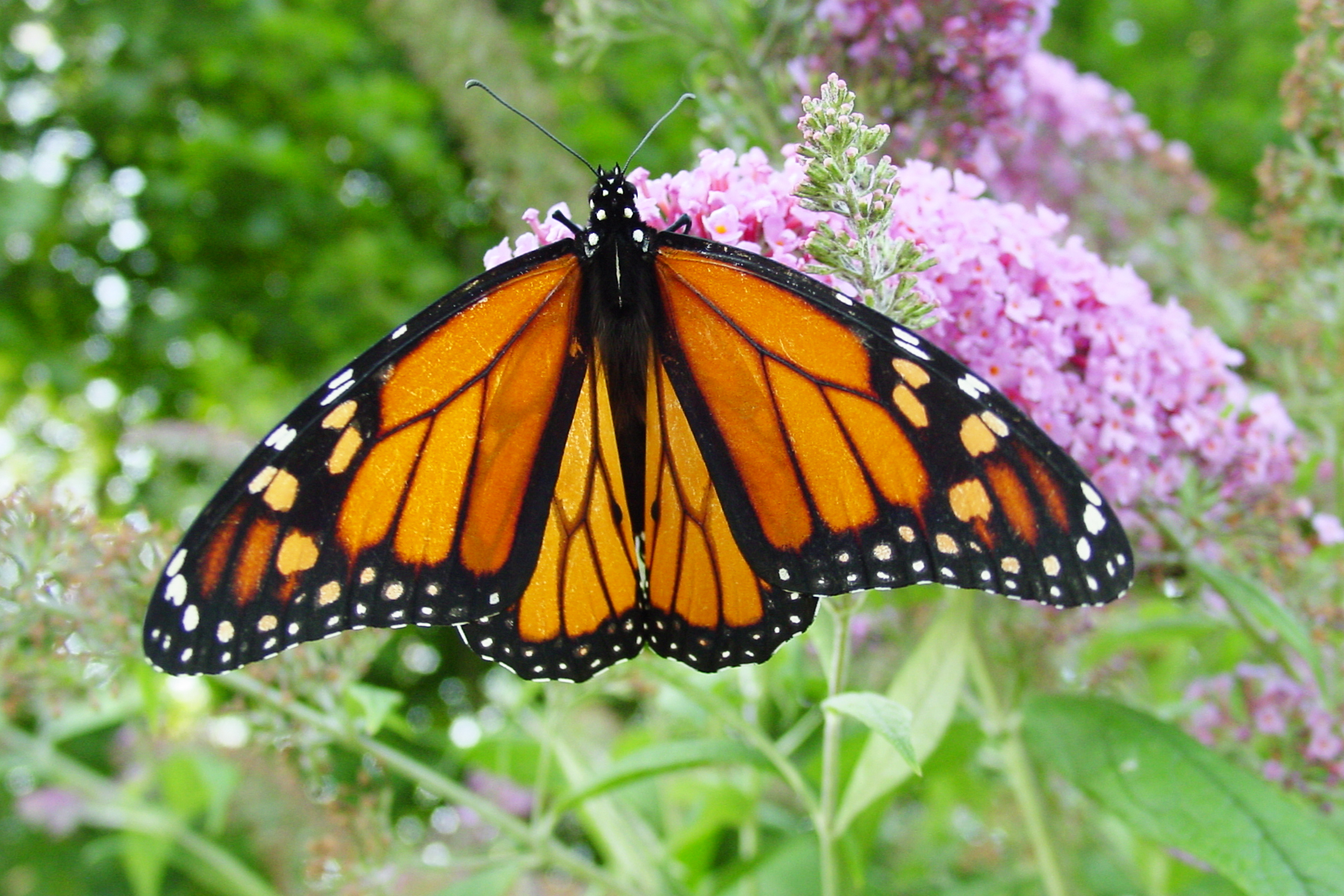 Picture of Monarch Butterfly   Wallpaper Pin it 1800x1200