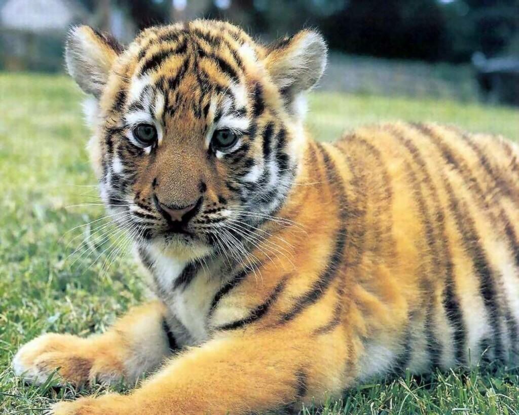 47+ Cute Baby Tiger Wallpaper on WallpaperSafari