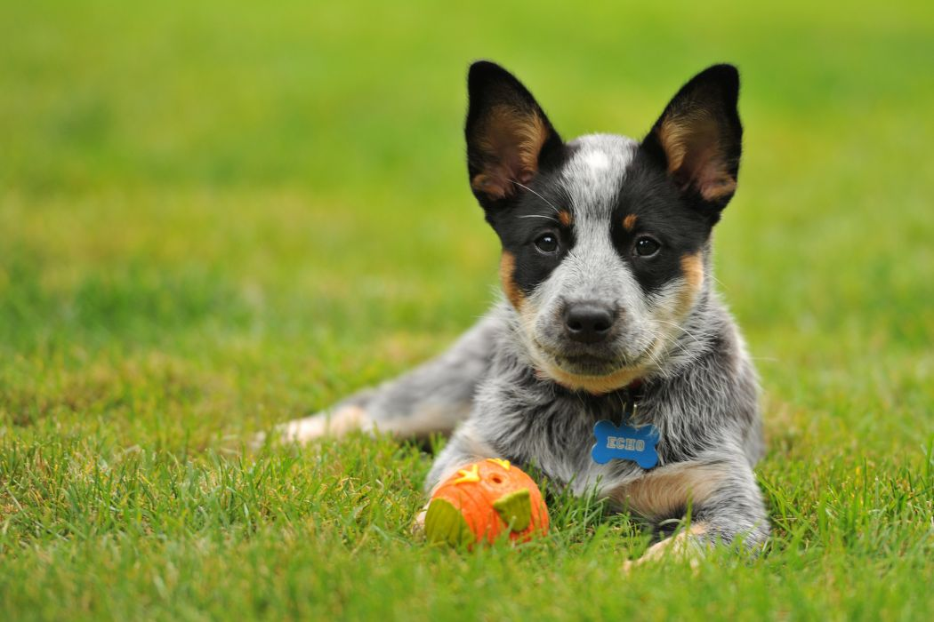 Cattle Dog Australian Heeler toy wallpaper 2048x1365 166882 1050x700