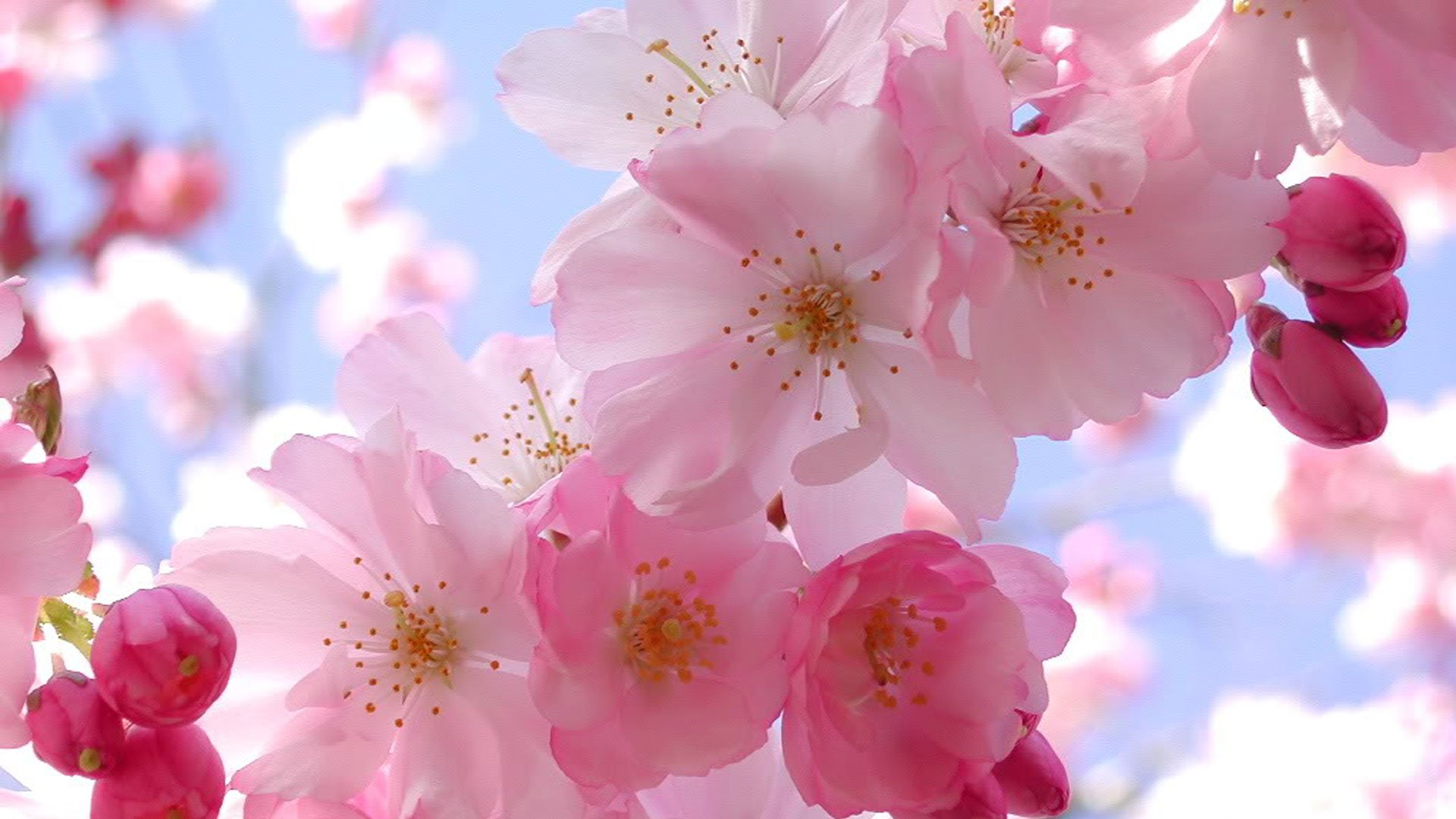Pink Cherry Blossom Wallpaper for iPhone Wallpaper with 1920x1080 1920x1080