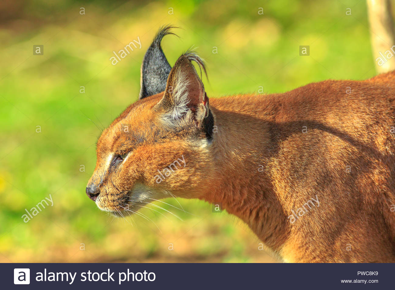 Closeup of adult Caracal or African lynx walking outdoor in 1300x956