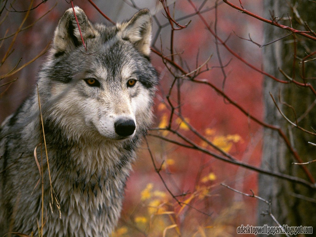 Wolf Animal Desktop Wallpapers PC Wallpapers Wallpaper 1024x768