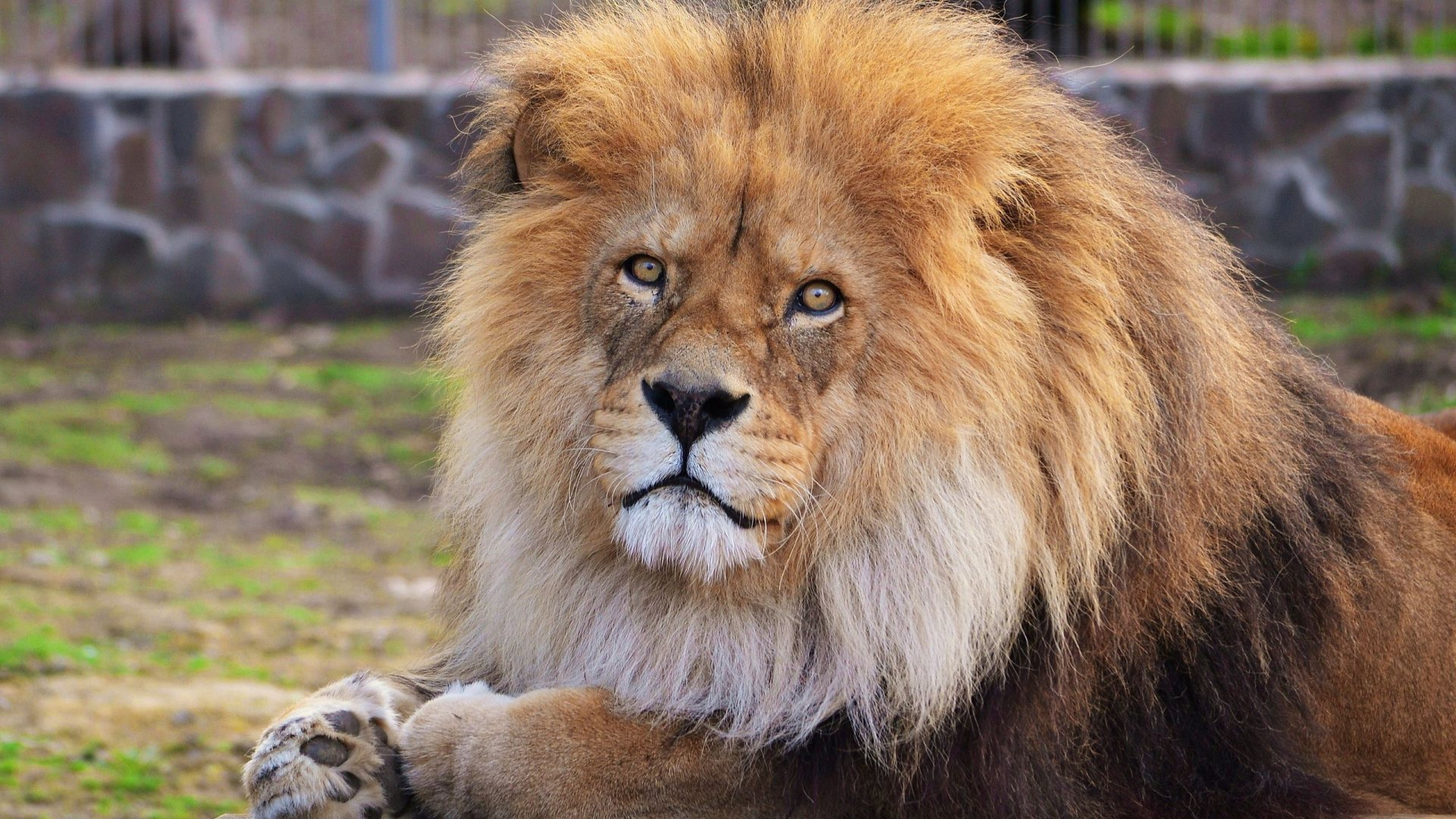 44+ Lion Wallpaper HD 1080P on WallpaperSafari