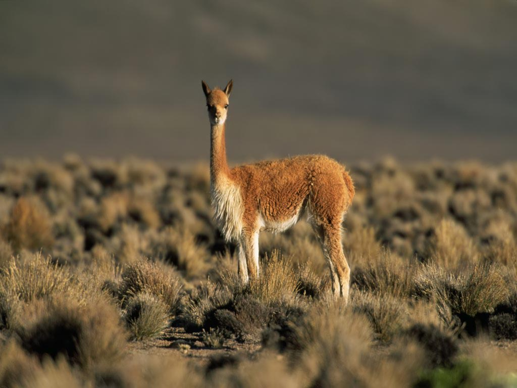 funny animals Funny Llama wallpaper for desktop 1024x768