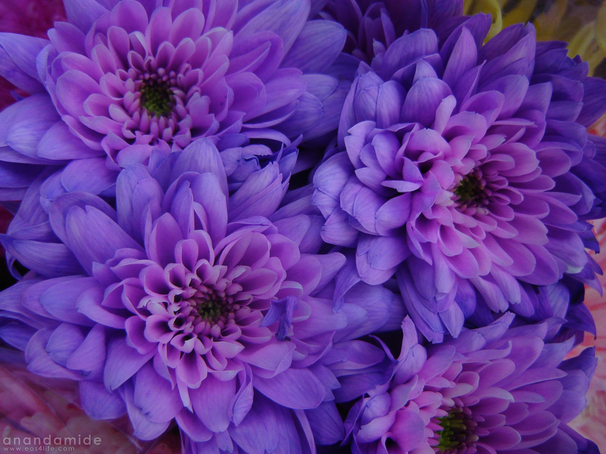 59+ Pink And Purple Flower Backgrounds on WallpaperSafari