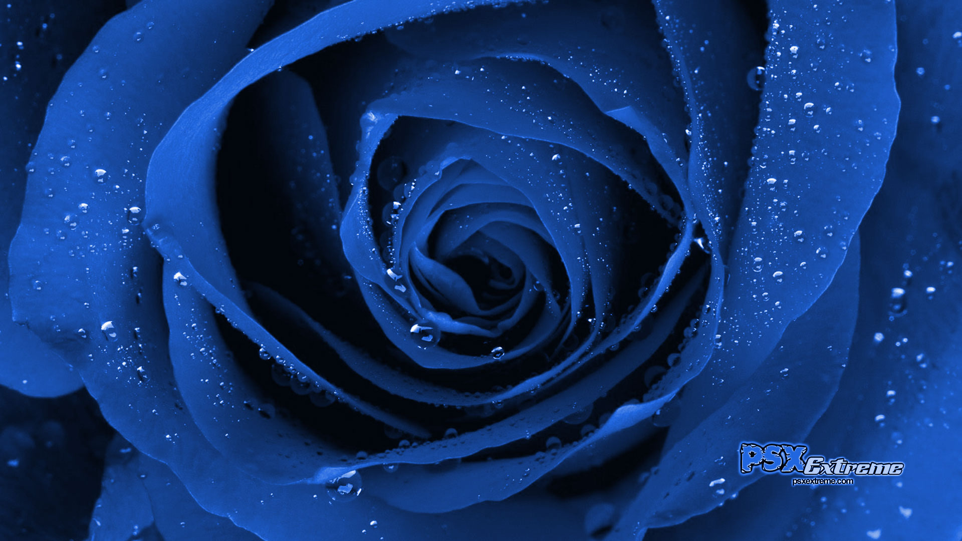 Blue Rose Wallpapers 1920x1080