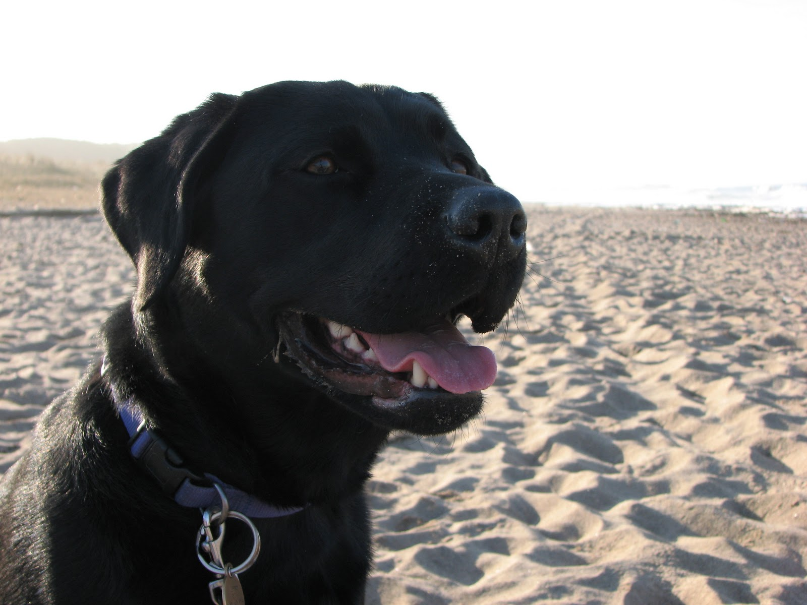 Wallpapers black lab dogs wallpapers 1600x1200
