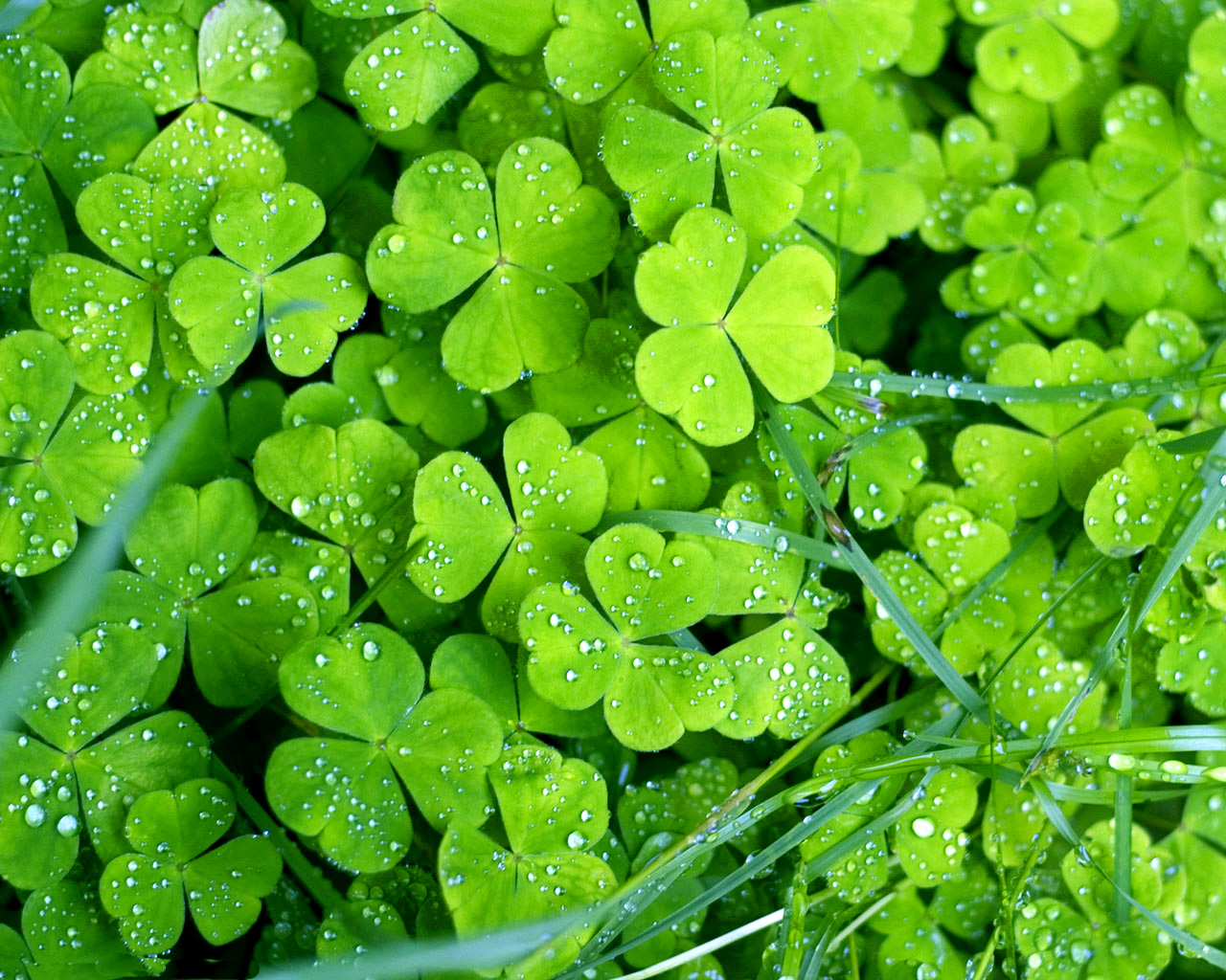 Green clover wallpapers and images   wallpapers pictures photos 1280x1024