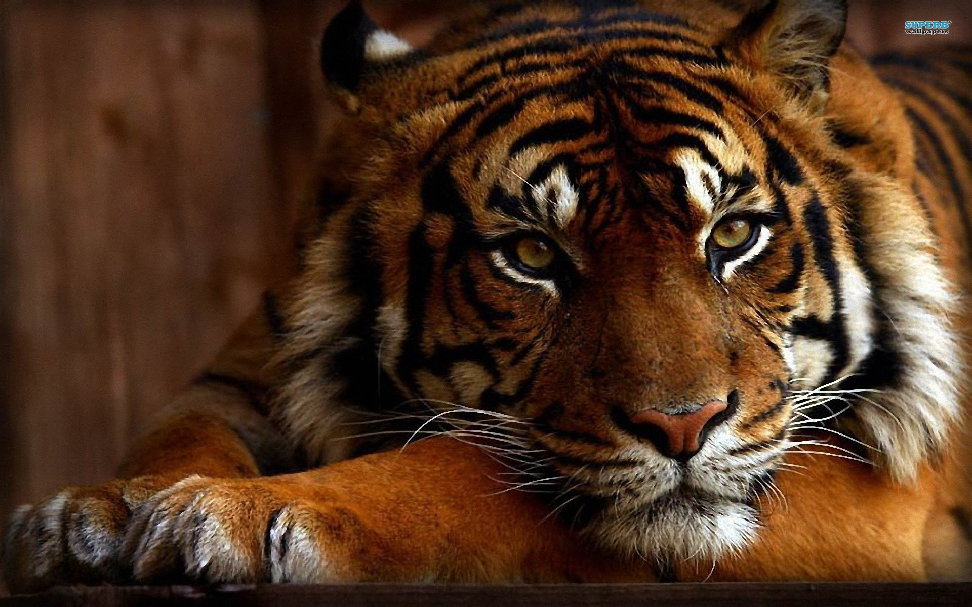 animals and cats you will like this cool and awesome tiger wallpaper 1920x1200