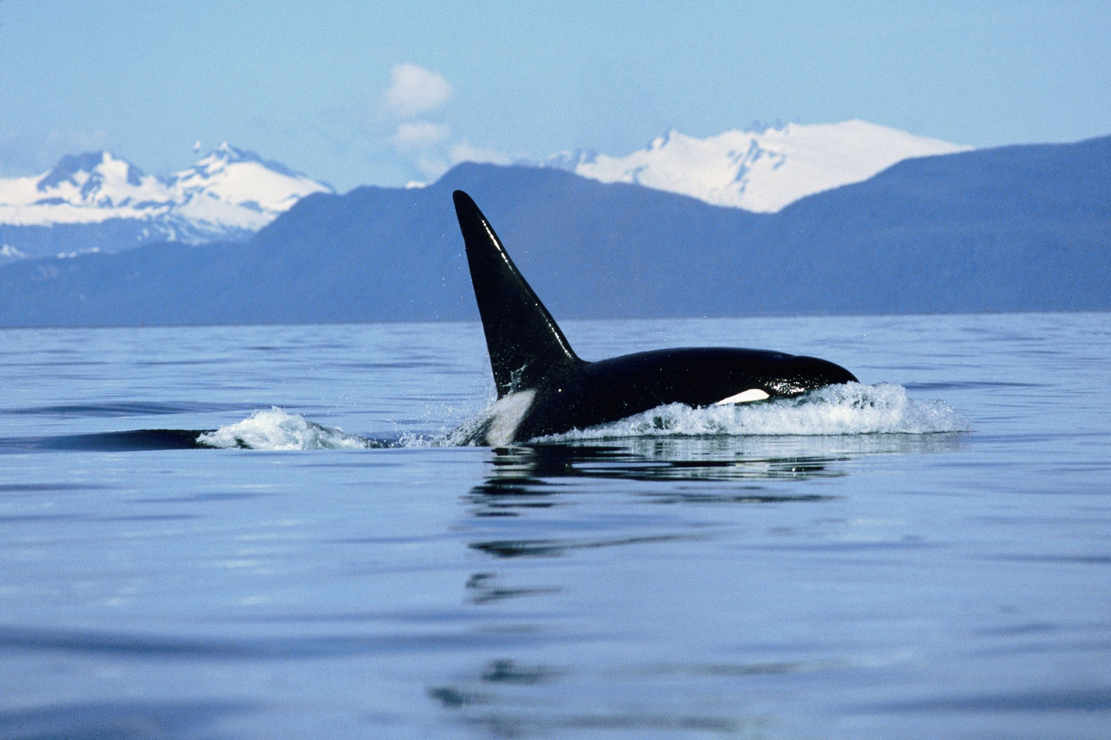 Malignant Sharks and Killer Whales My image 1600x1065