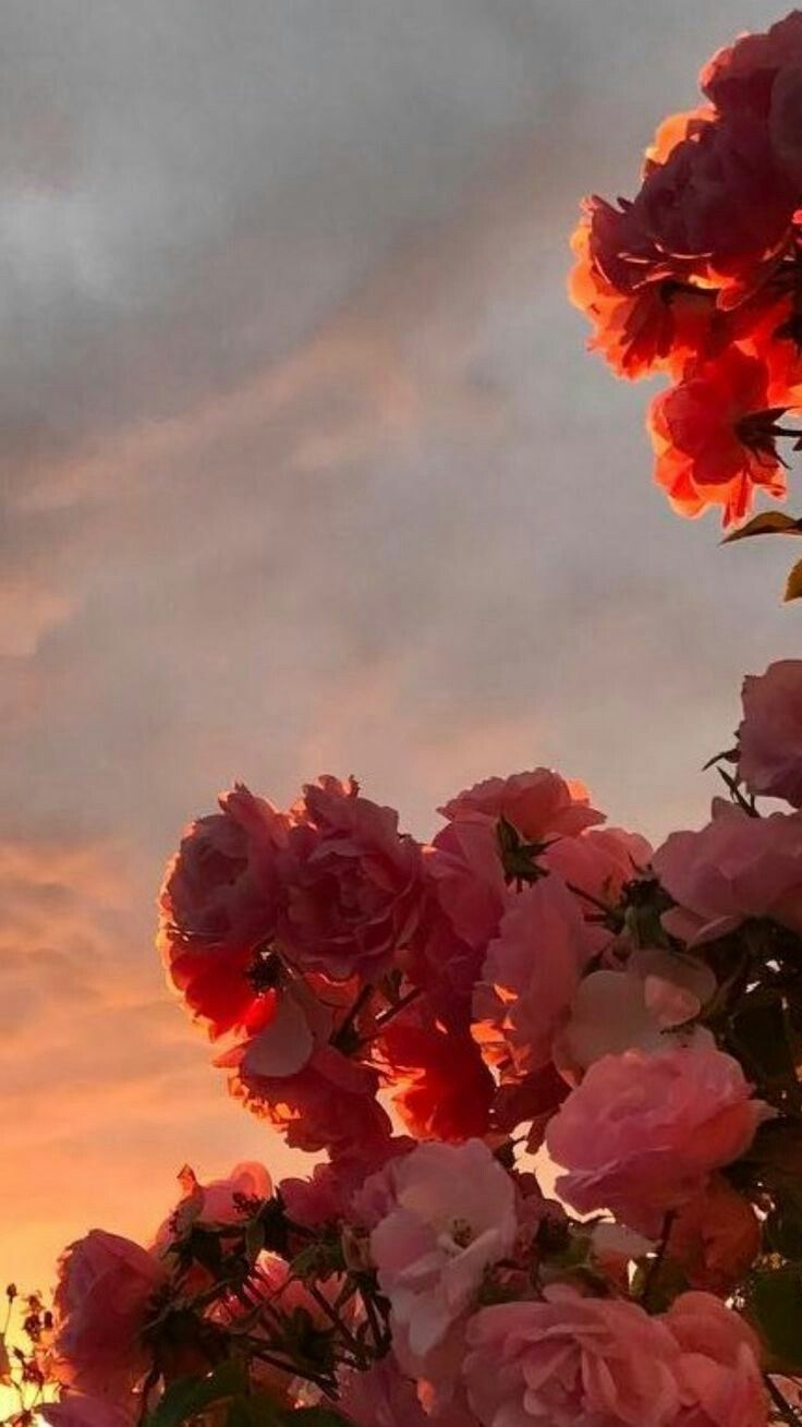 my secret hobbit hole Soft red Roses at sunset Nature 736x1309