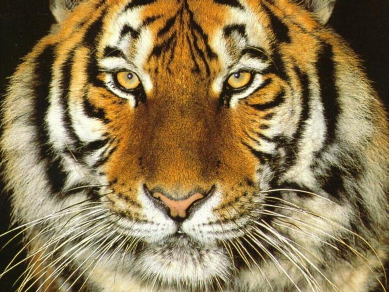 Tigers images Tiger Wallpaper wallpaper photos 9981604 800x600