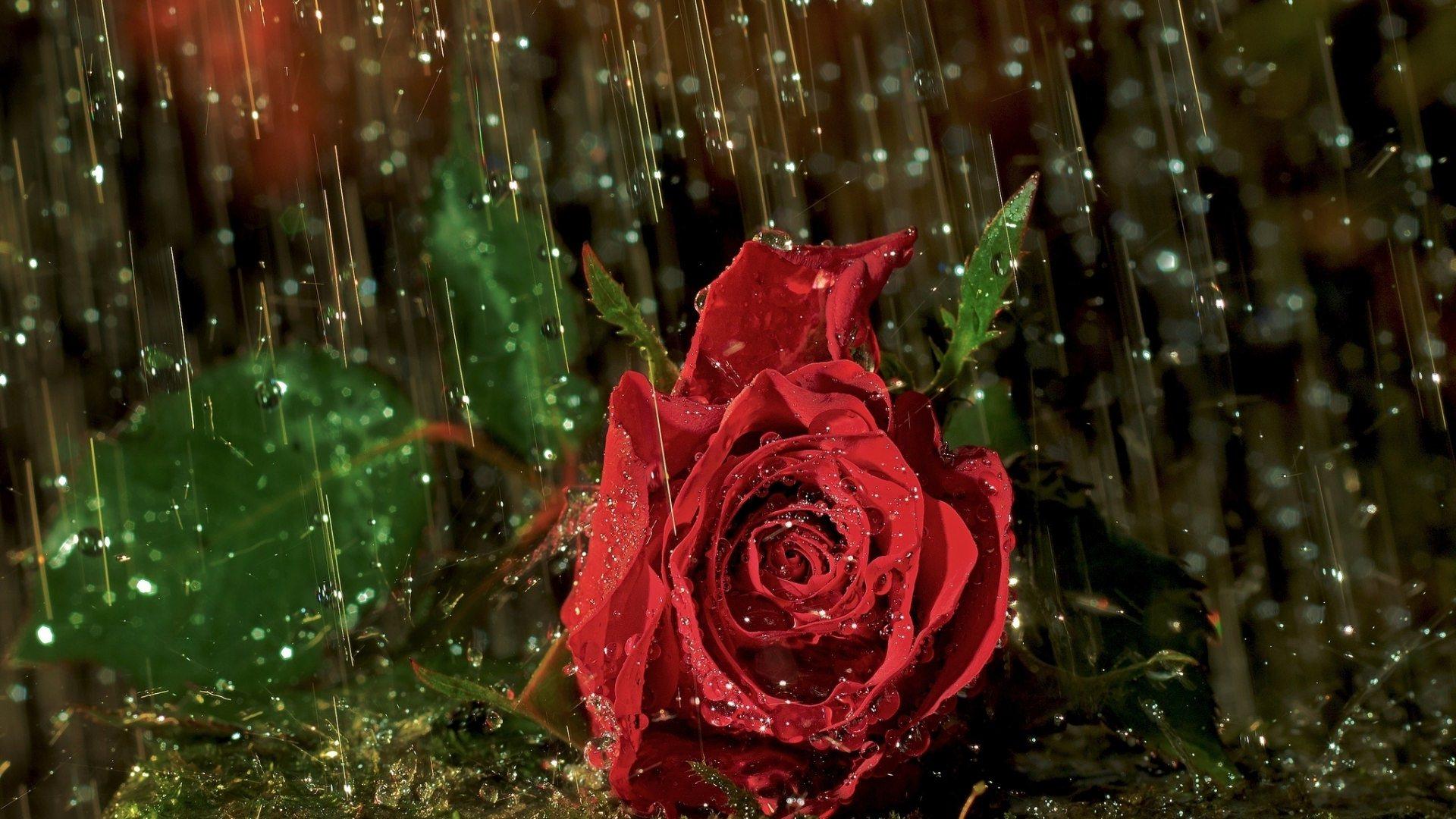 Rose in Rain HD Wallpapers 1920x1080