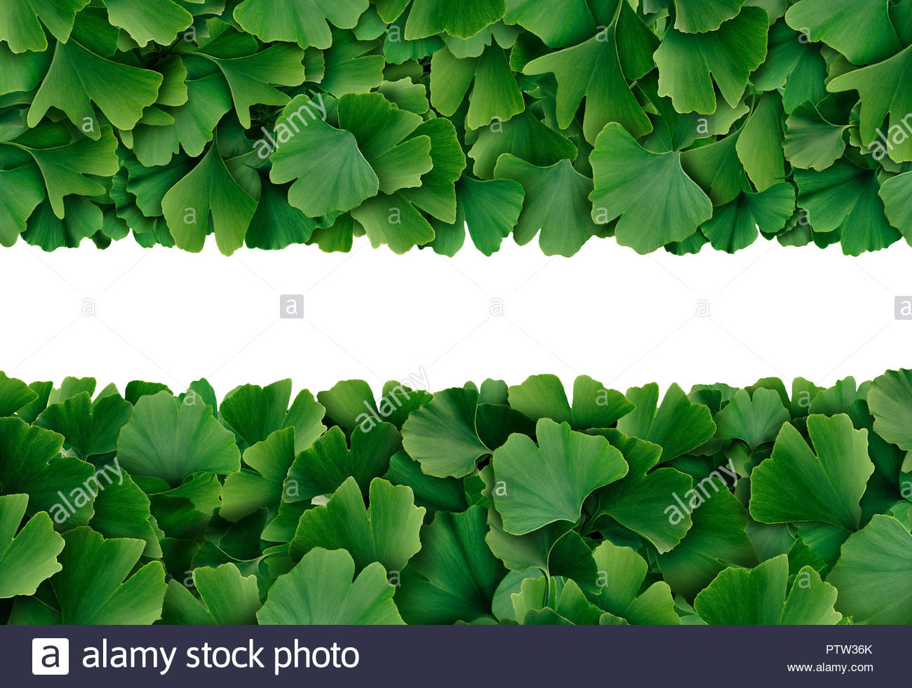 Ginkgo Biloba leaf border isolated on a white background as a 1300x981