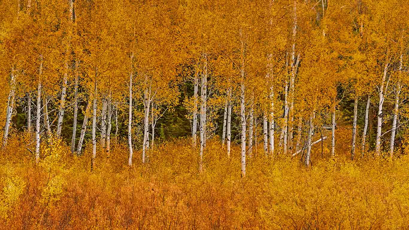 Autumn aspens in Grand Teton National Park Wyoming wallpaper by 1366x768