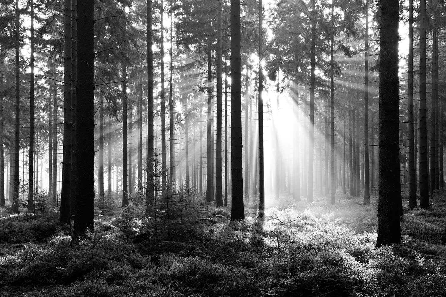 Forest black and white wall mural Photo wallpaper Trees 1500x1000