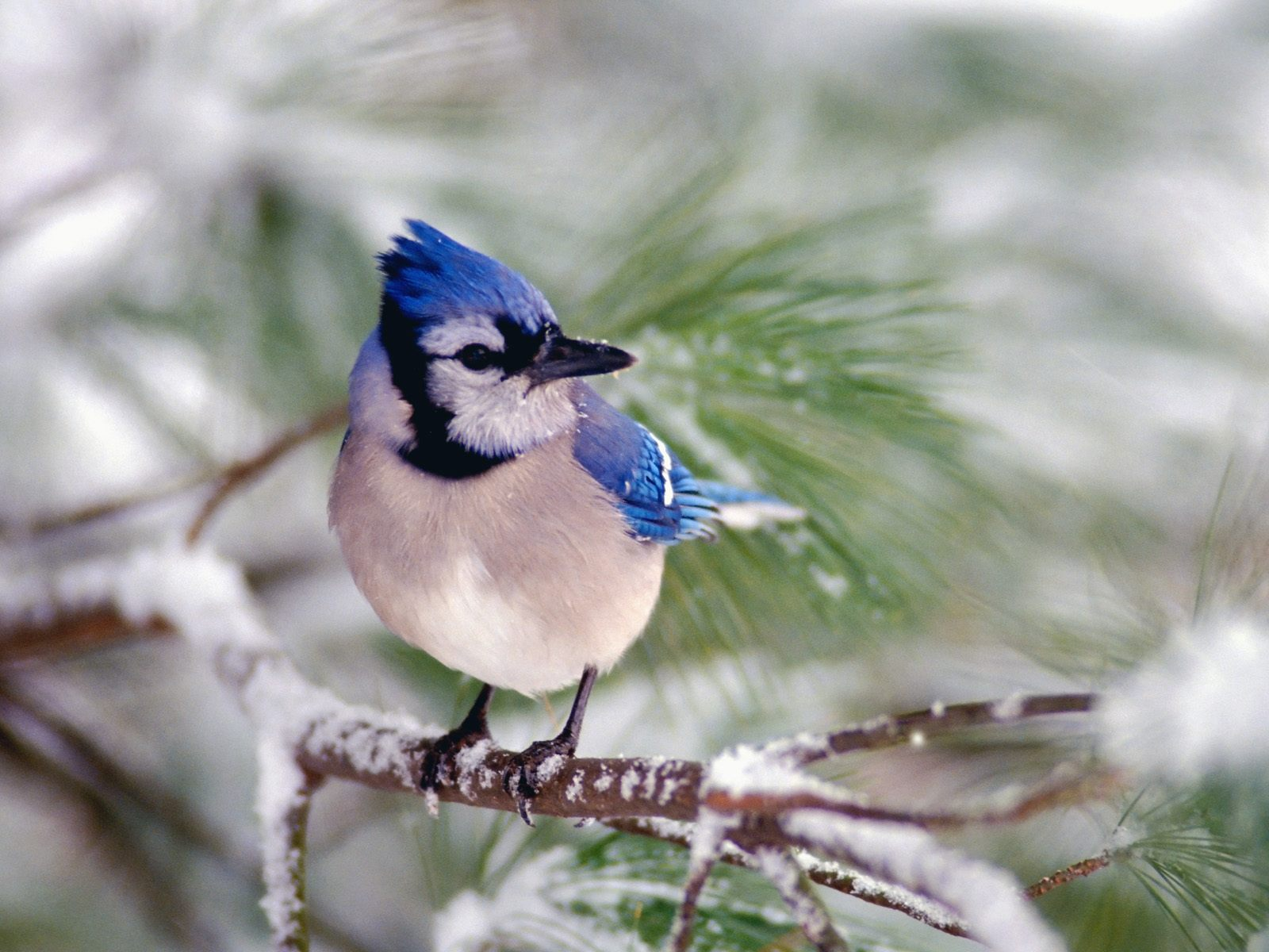 HQ Blue Jay Wallpaper   HQ Wallpapers 1600x1200