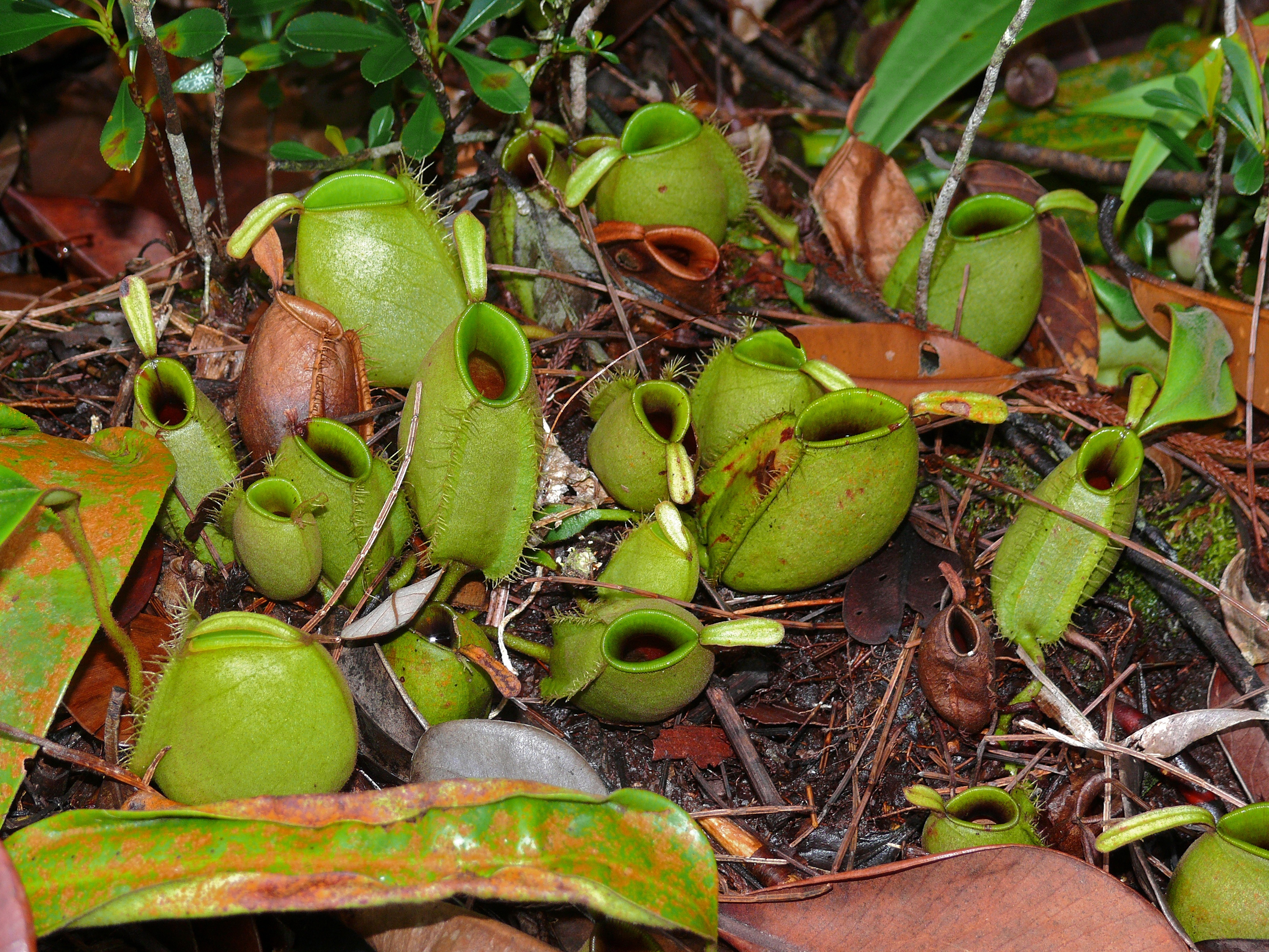 FilePitcher Plants Nepenthes ampullaria 6707412937jpg 3648x2736
