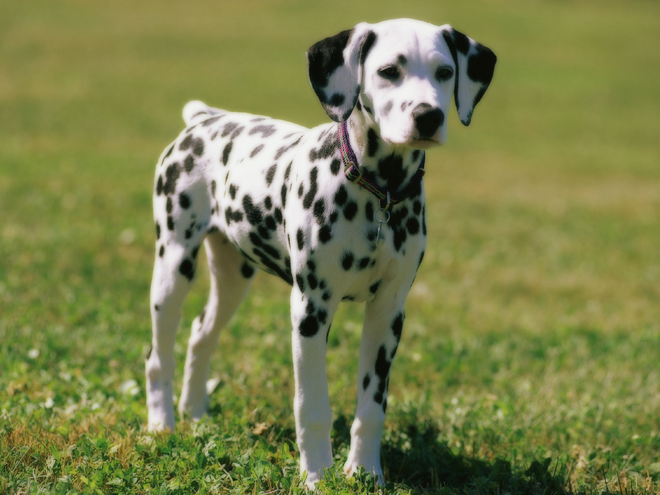 4k Hd <b>Wallpaper Dalmatian</b> Dog Widescreen <b>Desktop</b> Macbook - Damian ...