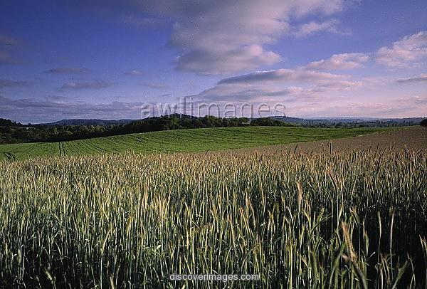 Wheat Field Surrey England Prints   1638963   Media Storehouse 600x406