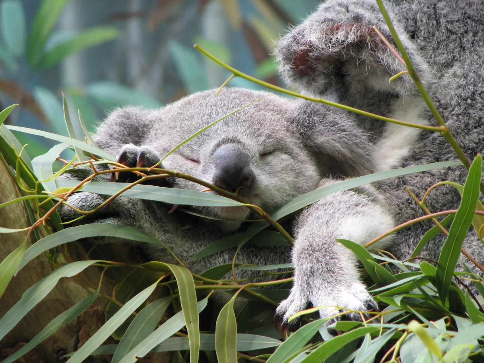 Wallpapers for Koala › Resolution 1920x1080