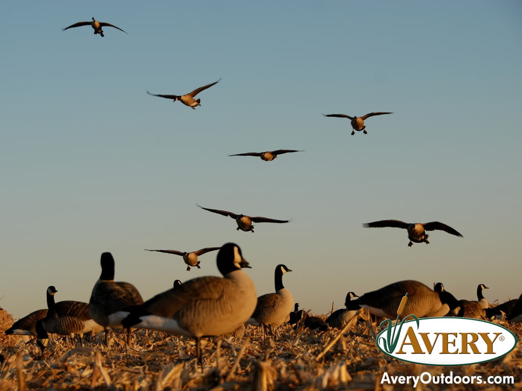 waterfowl backgrounds 1024x768