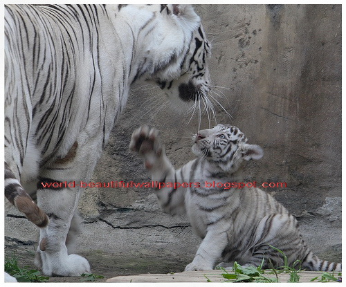 Beautiful Wallpapers white bengal tiger pictures 500x415