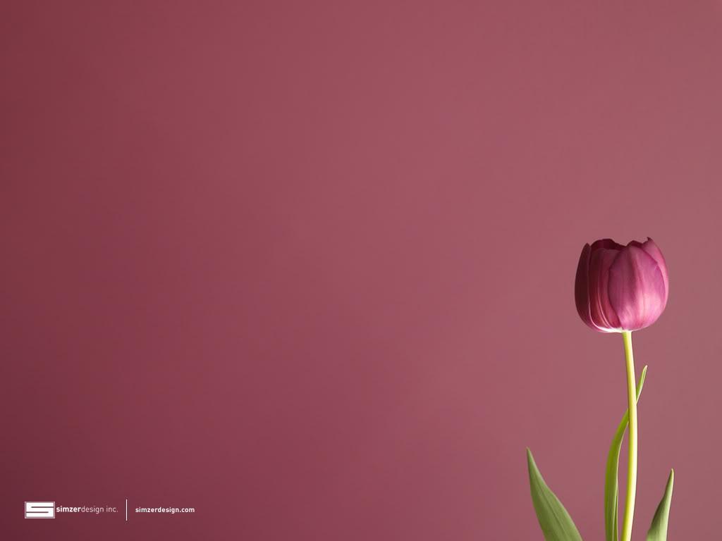 Tulip Wallpapers - WallpaperSafari