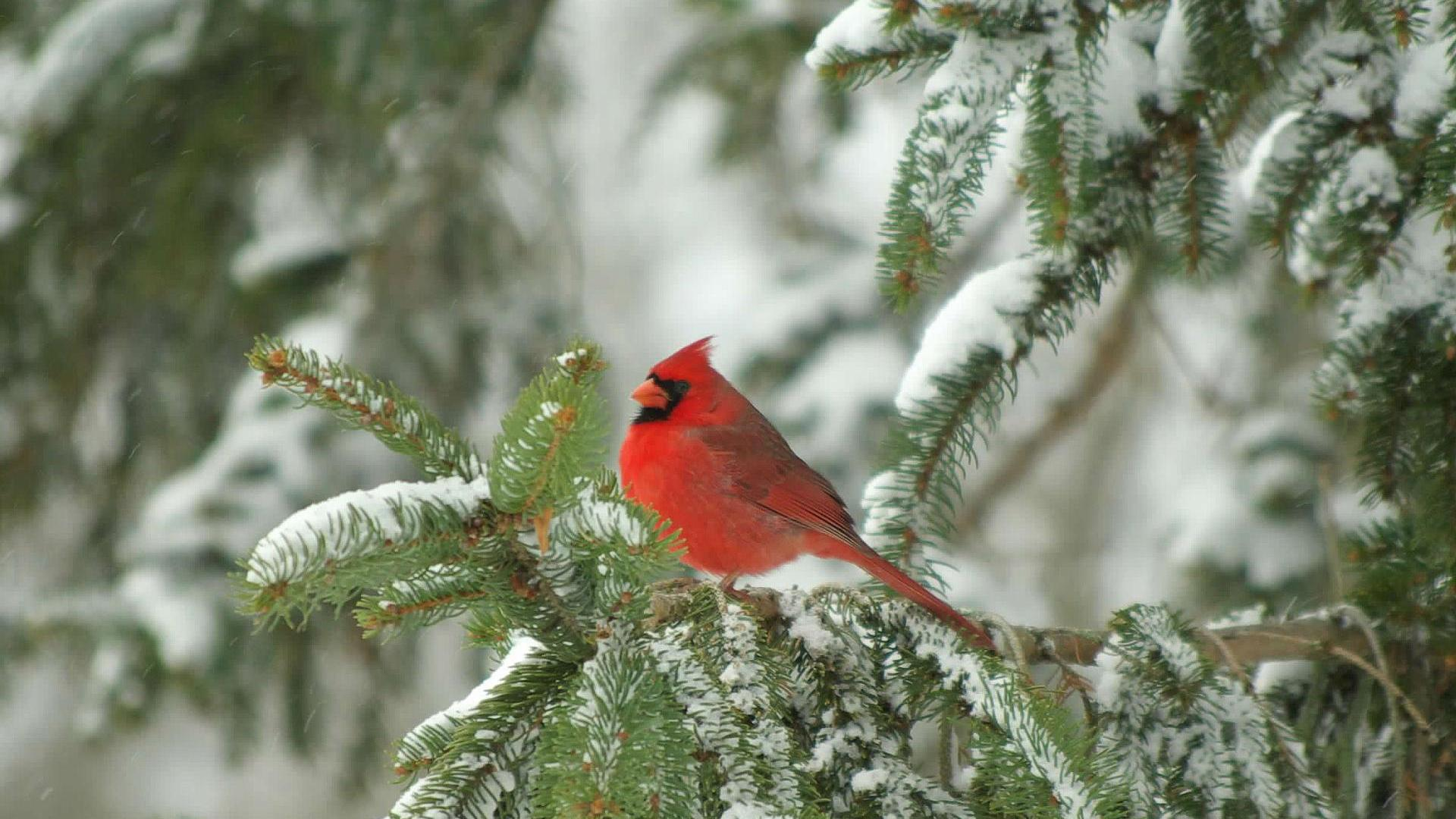 Images For gt Cardinal In Snow Wallpaper 1920x1080