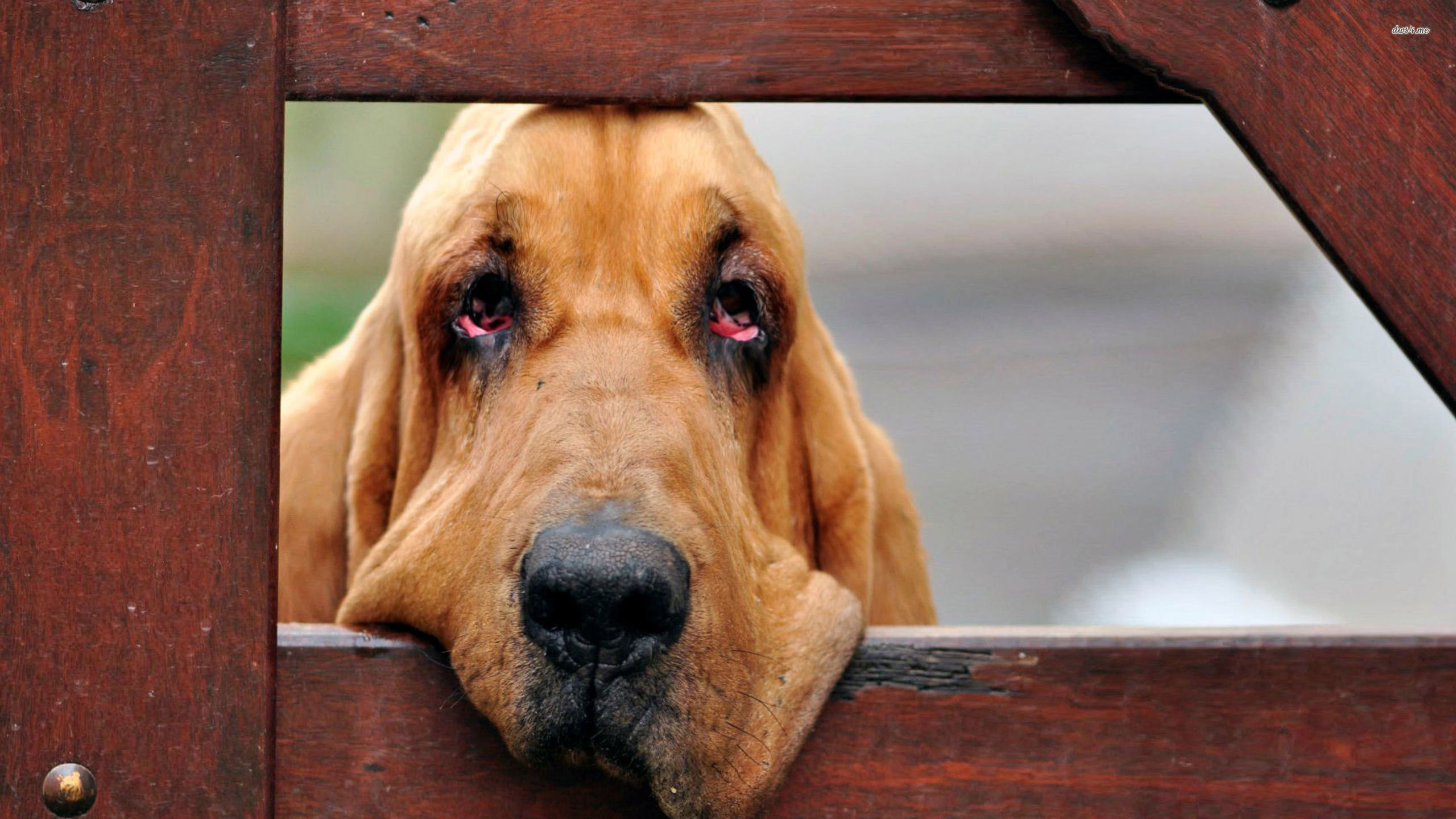Download Bloodhound wallpaper Animal wallpapers 29786 [2560x1440 2560x1440